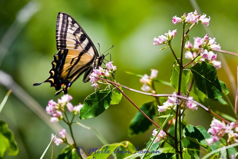 Western Tiger Swallowtail (Papilio rutulus)<br /> Taken 7/20/2010