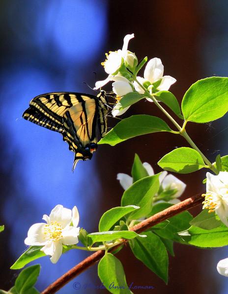 butterfly on Syringa, Taken 7/1/2009