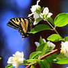butterfly on Syringa, Taken 7/1/2009