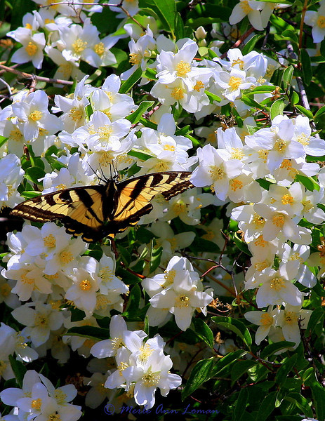 Syringa and a butterfly, Taken 7/1/2009