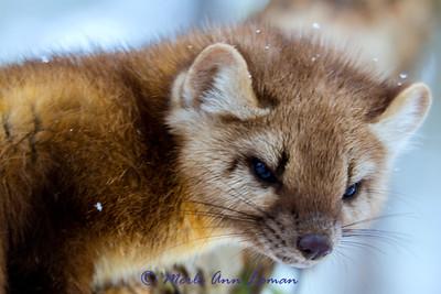 Mammals - Carnivores