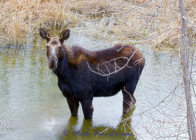 Young cow moose in a pond of the Bitterroot River bottom-land near (north of) Woodside Crossing.  Image 2588