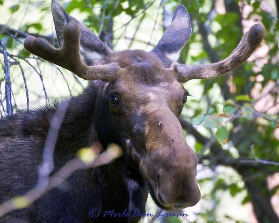 Young bull moose in velvet