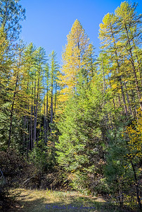 Western Larch in the Bitterroot Mountains in fall colors IMG_9384  ¯\_(ツ)_/¯ Please share and like the A Montana View Facebook page! Thanks so much for viewing. | visit www.amontanaview.com | #Photography #Montana #MontanaMoment #Fall_Colors - Buy this photo at this link http://smu.gs/1QyMUSW