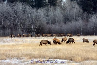 Elk near Victor, Montana, Bitterroot Valley December 28, 2009