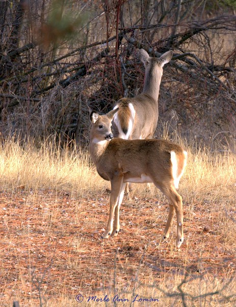 White-tailed doe and fawn, January 3, 2010