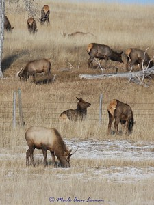 Elk eating grass in a pasture near Victor, MT December 9, 2010