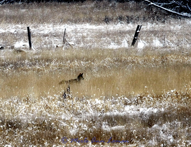 A coyote in a Bitterroot pasture, January 24, 2010