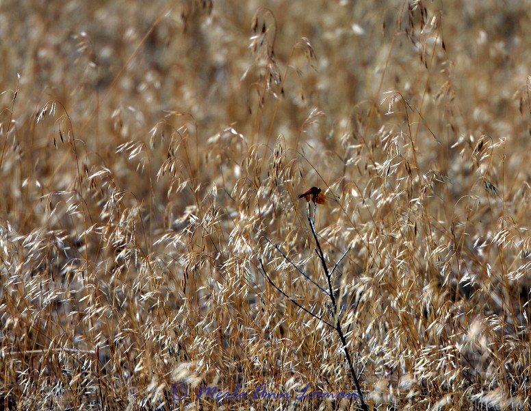 2009_08_19 Dragonfly, Saffron-winged Meadowhawk - Sympetrum costiferum