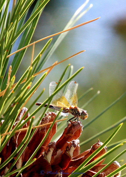 Dragonfly, Band-winged Meadowhawk - Sympetrum semicinctum