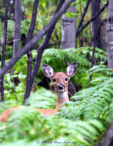 Deer hiding in the ferns