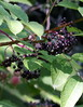 Elderberry - by now the leaves have yellowed and maybe dropped.