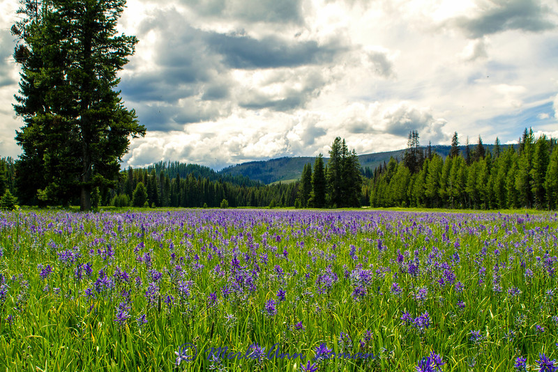 Packer Meadows with the main flower color coming from Common Camas - Camassia quamash