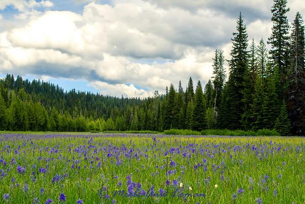 Camas blooming in Packer Meadows