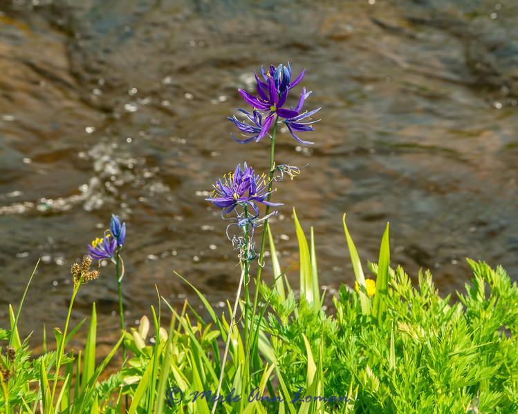 Common Camas - Camassia quamash - Glade Creek is the background.