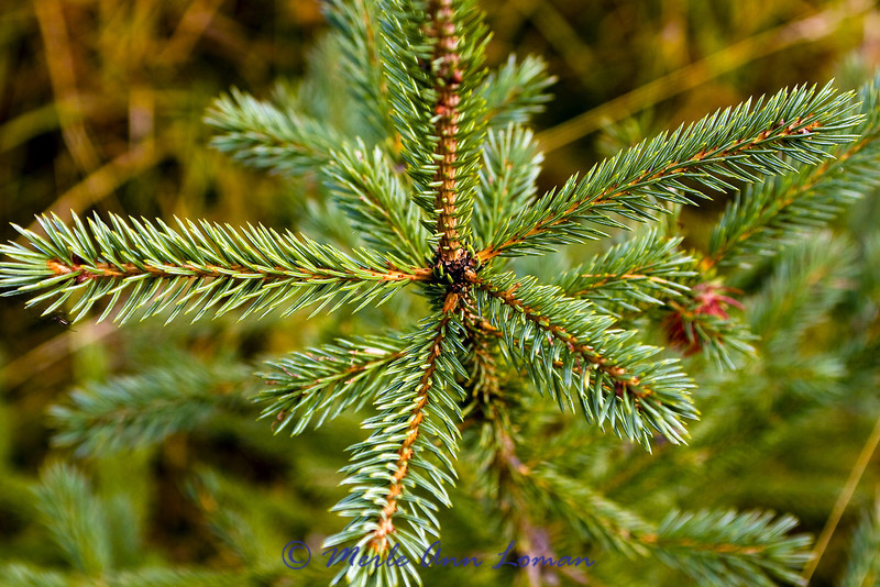 Species Subalpine Fir Abies lasiocarpa,