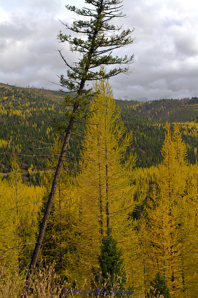 Western larch are turning gold and will soon loose their needles.