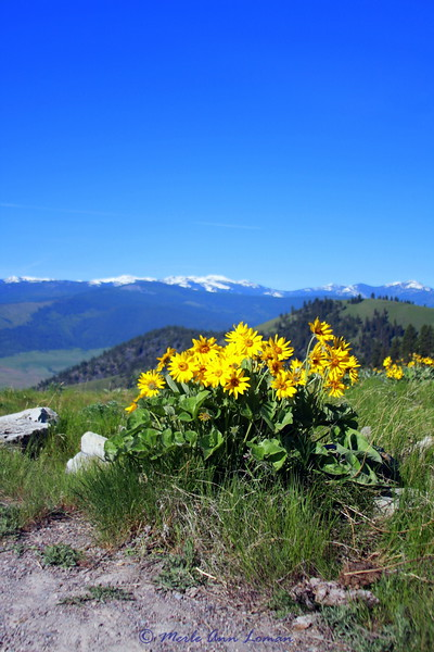 Mission Mountains, arrowleaf balsamroot