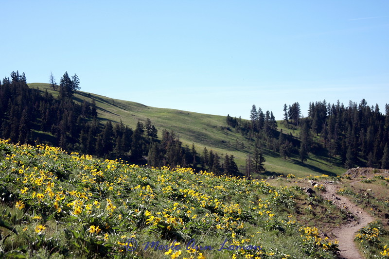 a hillside of arrowleaf balsamroot