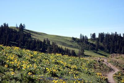 a hillside of arrowleaf balsamroot