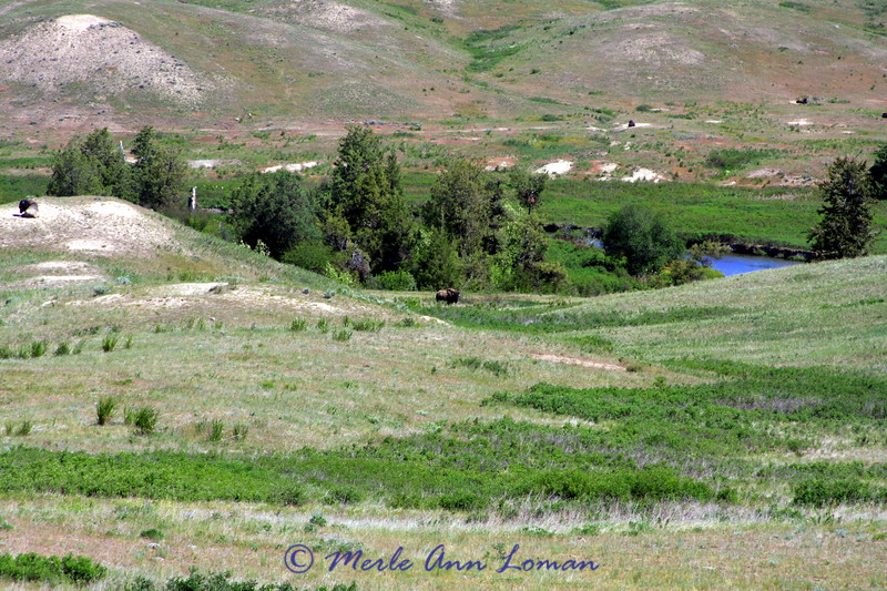 Dusting areas for bison near Mission Creek