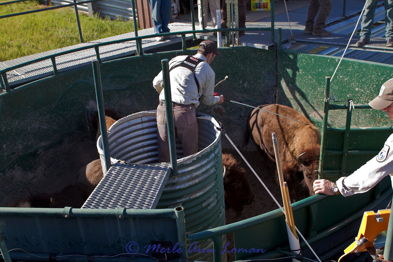 A worker is safely contained in this protective barrel. He helps move the bison into the proper gate, one leads to the scale, other gates lead to chutes or corrals.