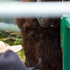 Bison in one of the chutes.