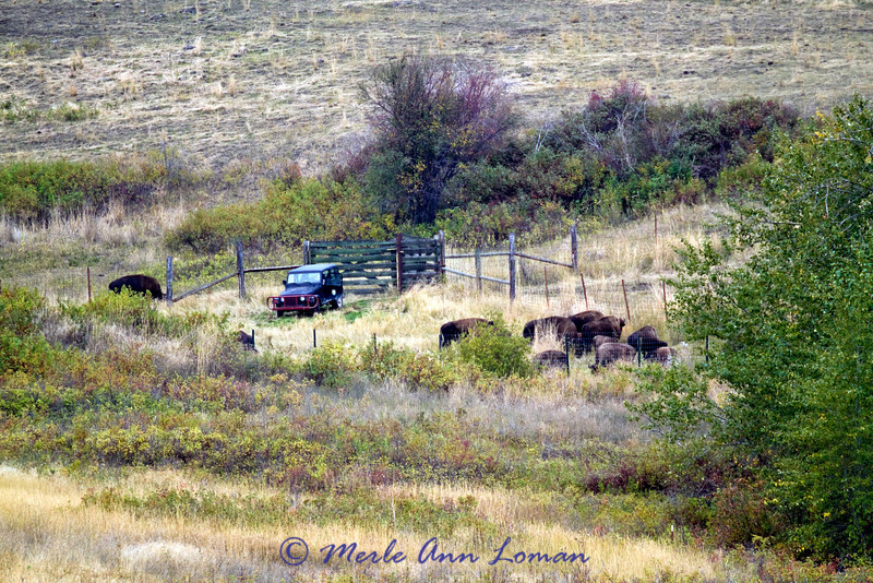 Bison coming into the corral system from the range.