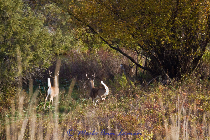 two white-tailed bucks and one doe