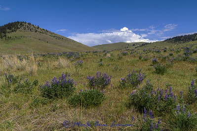 Lupine in a Palouse Prairie habitat in May IMG_8560