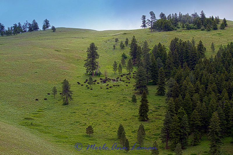 Bison on a hillside near Moise, Montana - Image 5258
