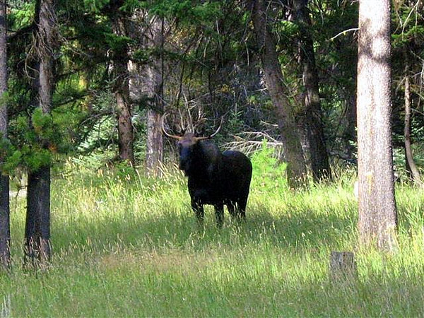 Bull moose photo taken by Beryl