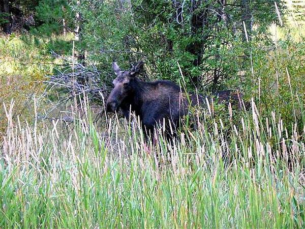 Cow moose photo taken by Beryl