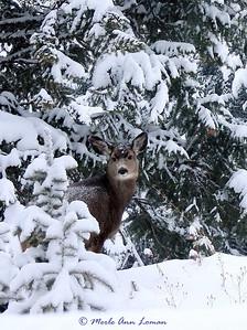 Mule deer in the winter