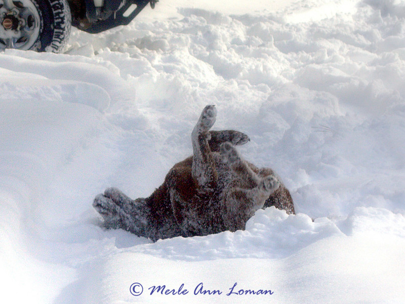 Our dog rolling in the snow