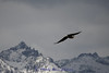 Bald Eagle over the mountains