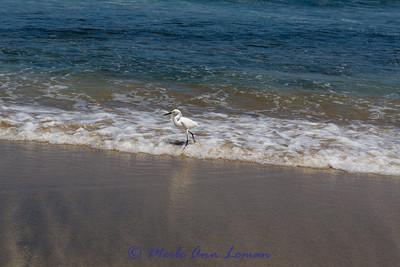 Snowy Egret in Sayulita Bay Image 2081