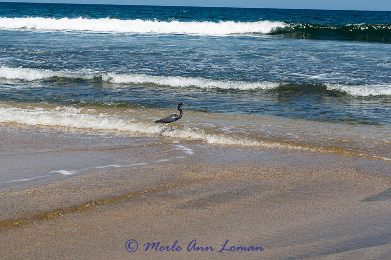 Tricolored Heron in Sayulita Bay Image 2072