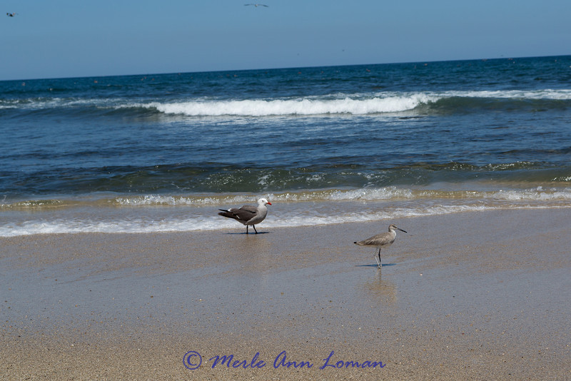 Hermann's Gull and Willet