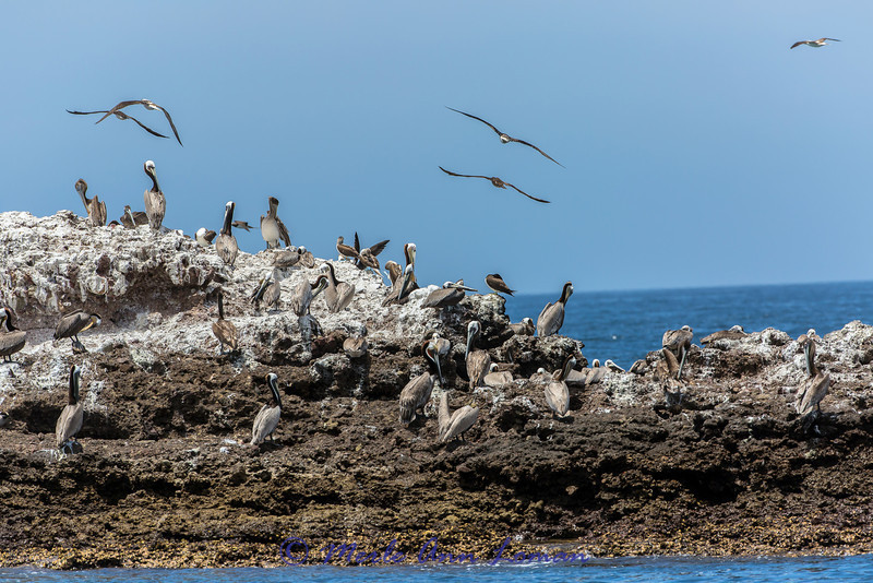 Brown Pelicans, Blue-footed Boobies, gulls on the west coast of Mexico near Puerto Vallarta - Image 2348