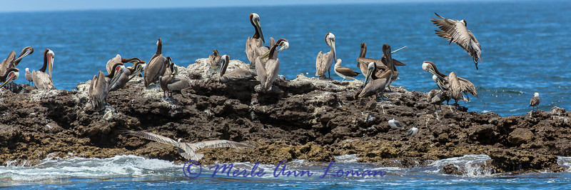 Brown Pelicans, Blue-footed Boobies, gulls on the west coast of Mexico near Puerto Vallarta