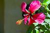 Hibiscus Img 1978
