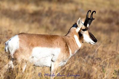 Pronghorn buck September 2013