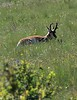 A buck resting in the late morning. See the black patch on the jaw - only the males have this.