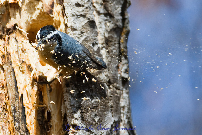 2013 NBC Montana Weather Calendar - Engagement Calendar, week of 4/21/13. Nuthatch excavating a nest in a cottonwood snag.