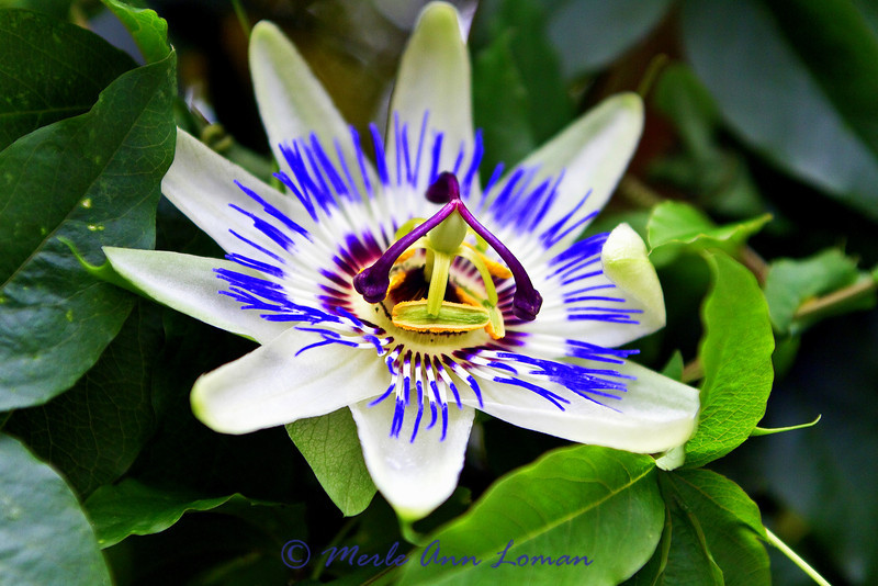 Passion flower (passiflora incarnata) in the geothermal greenhouse