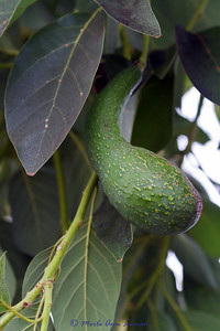 An avocado in the geothermal greenhouse