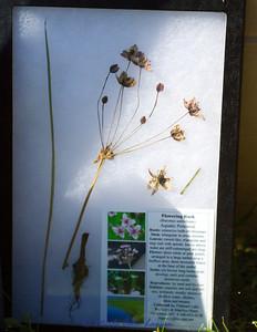 Flowering Rush (Butomus umbellatus)