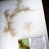 Eurasian Water-Milfoil (Myriophyllum spicatum)