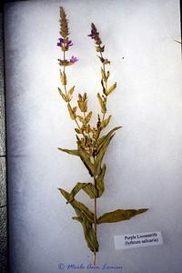 Purple Loosestrife (lythrum salicaria)